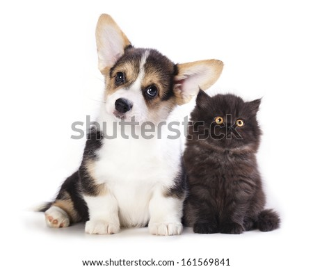Pembroke Welsh Corgi puppy and  kitten - stock photo