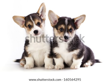 Pembroke Welsh Corgi puppy,  isolated on white background - stock photo