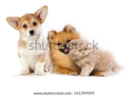 Pembroke Welsh Corgi puppy, kitten persian and pomeranian spitz - stock photo
