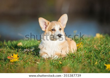 Pembroke welsh corgi puppy lying on the lawn in autumn