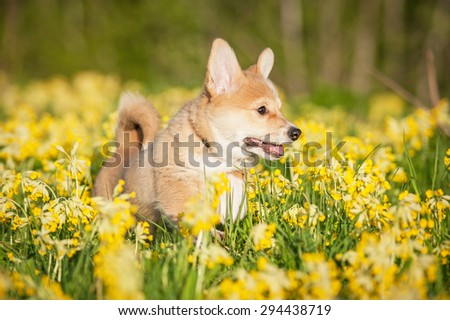 Pembroke welsh corgi puppy playing on the field with flowers
