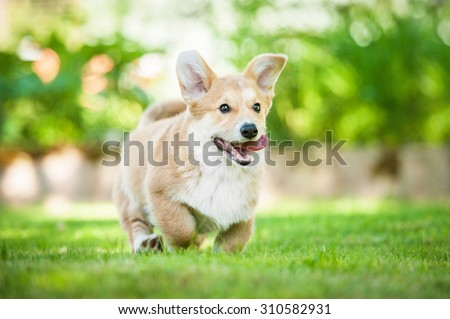 Pembroke welsh corgi puppy running