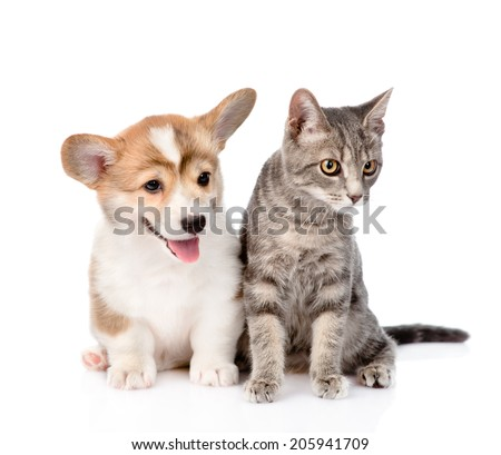 Pembroke Welsh Corgi puppy sitting with cat together and looking away. isolated on white background