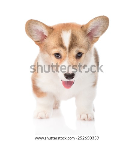 Pembroke Welsh Corgi puppy standing in front. isolated on white background