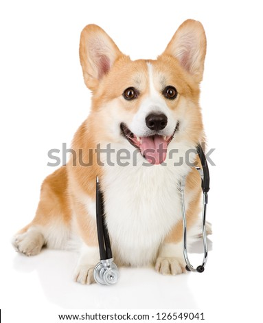 Pembroke Welsh Corgi puppy with a stethoscope on his neck. isolated on white background