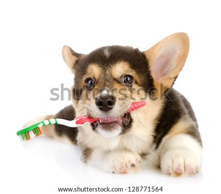 Pembroke Welsh Corgi puppy with a toothbrush. isolated on white background