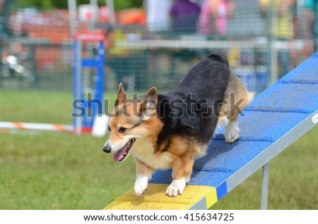 Pembroke Welsh Corgi Running on a Dog Walk at an Agility Trial - stock photo