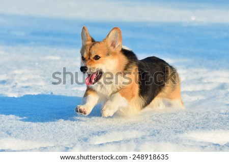 Pembroke Welsh Corgi runs in winter time - stock photo