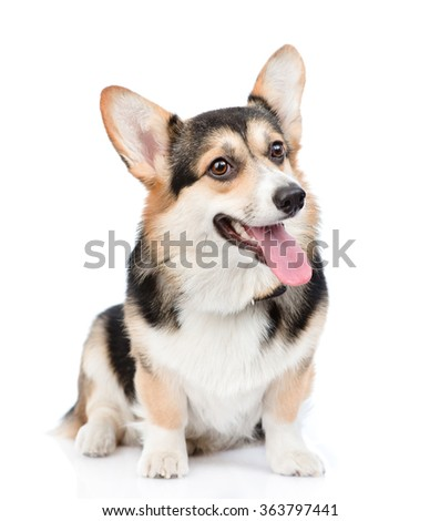 Pembroke Welsh Corgi sitting in front view. isolated on white background - stock photo