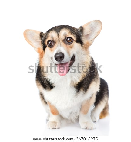 Pembroke Welsh Corgi sitting in front view. isolated on white background