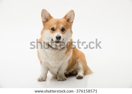 Pembroke welsh corgi sitting on the floor against white background looking at the camera - stock photo