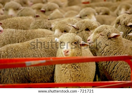 Pen full of sheep waiting to be sheared for their wool. - stock photo