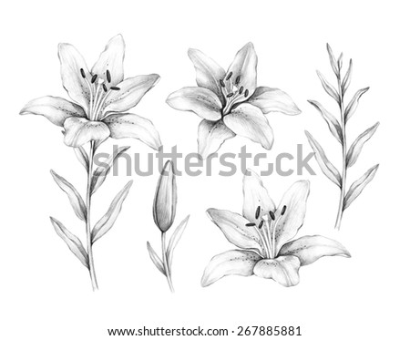 Pencil drawing of lily flower - stock photo