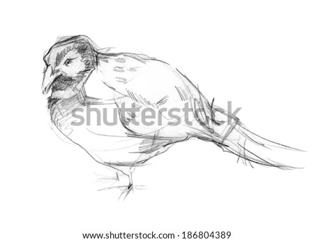 Pencil sketch of a pheasant - stock photo