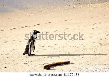 Penguin alone on the beach, South Africa - stock photo