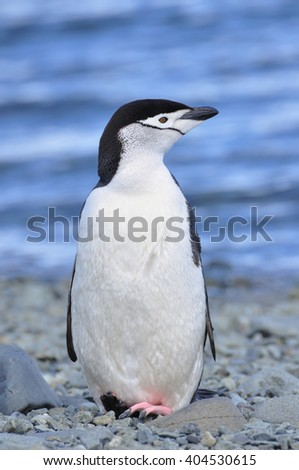 Penguin, Chinstrap