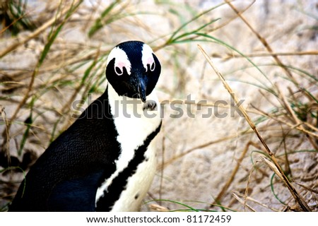 Penguin close up, South Africa - stock photo