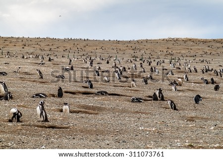 Penguin colony on Isla Magdalena island in Magellan Strait, Chile - stock photo