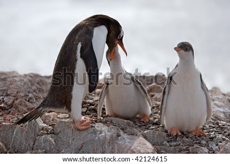 penguin feeding one of two young - stock photo