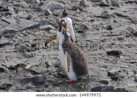 Penguin feeding young in Antarctica - stock photo