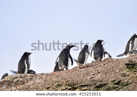 Penguin Gentoo walking on the hill