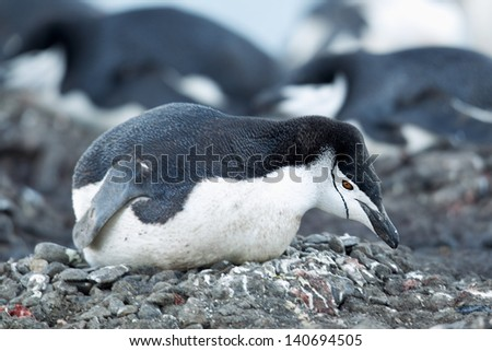 Penguin in a macro image - stock photo