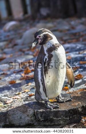Penguin in the Prague zoo - stock photo