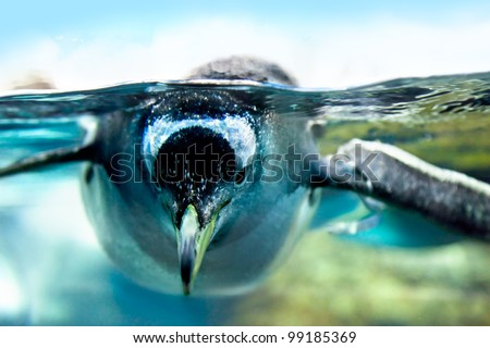 Penguin is under water looking at camera - stock photo