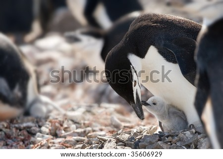 penguin mum checking young - stock photo