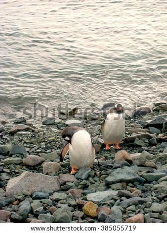 Penguin Pair on Rocky Land - Antarctic Peninsula, Antarctica - stock photo