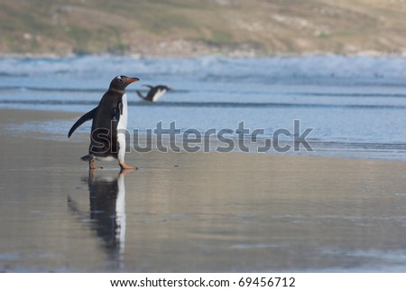 Penguin walks towards the water on a beach. Its reflection is shown on the wet sand.