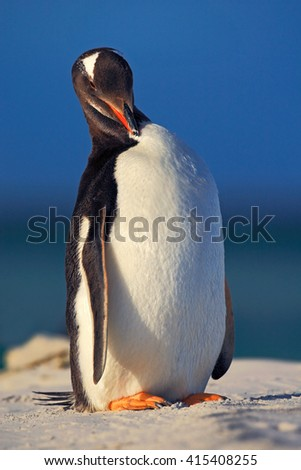 Penguin with blue wave sea. Penguin in the white sand beach. Gentoo penguin jumps out of the blue water ocean to white sand beach while in Falkland Islands. Sea bird in the nature habitat. - stock photo