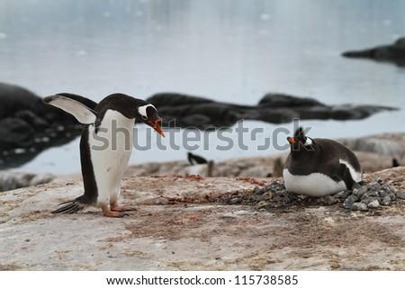 penguins brood - stock photo