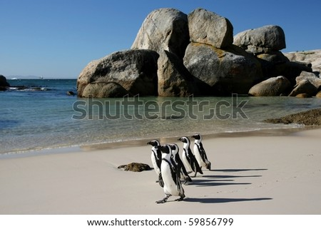 Penguins crossing the sandy beach at Boulders in South Africa - stock photo