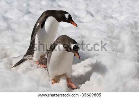 penguins descending carefully - stock photo