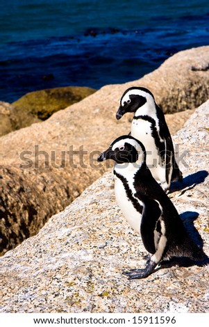 Penguins in Cape Town South Africa - stock photo
