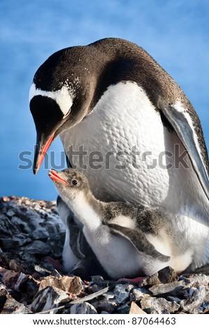 penguins nest. Antarctica - stock photo