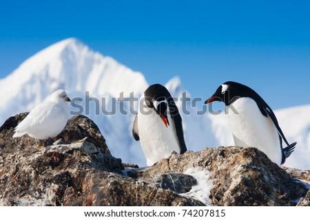 penguins on the stony coast of Antarctica - stock photo