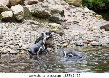 penguins playing with each other in a zoo in the Netherlands - stock photo
