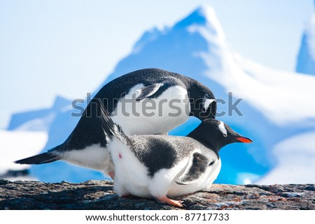 penguins resting on the stony coast of Antarctica - stock photo
