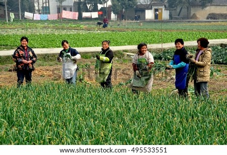 Pengzhou, China - February 7, 2010:  Women standing in a field harvesting fresh garlic greens on a Sichuan province farm