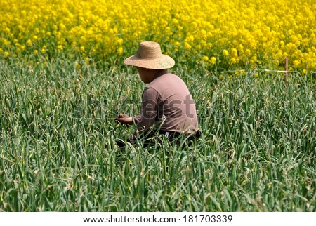 Pengzhou, China - March 14, 2014: Farmer cutting green garlic near a field of yellow Rapeseed oil flowers on a Sichuan province farm - stock photo