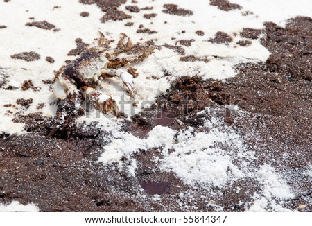PENSACOLA BEACH - JUNE 23: An oil-stained crab lies dead near oil covered sand on June 23, 2010 in Pensacola Beach, FL - stock photo