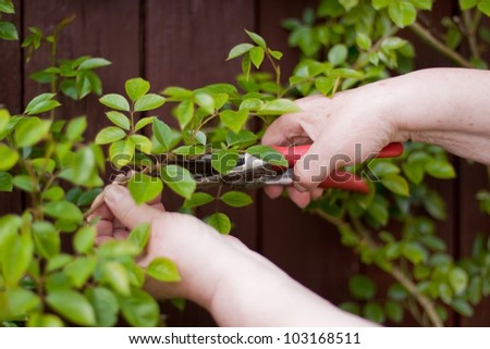 Pensioner with a hedge trimmer cuts  rose - stock photo