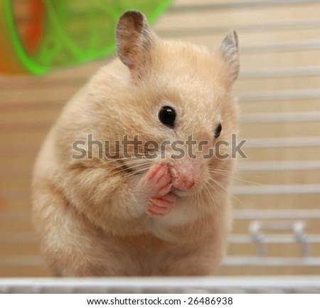 Pensive cream hamster - stock photo