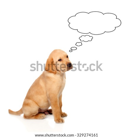 Pensive little Golden Retriever dog breed in isolated studio on white background - stock photo