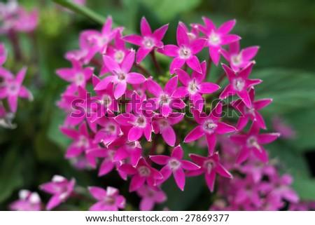 Pentas lanceolata flowers - Star Cluster - stock photo