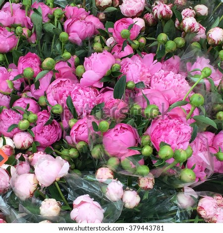 Peonies Buds and Flowers Flowering at the Farmers Markets - stock photo