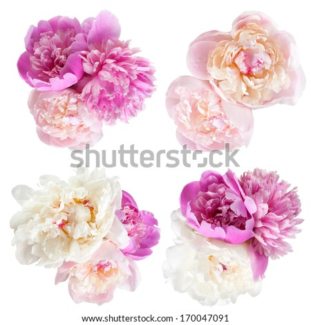 Peonies flower isolated on white background - stock photo