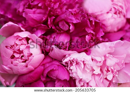 Peonies flowers - stock photo